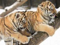 Тигрики муррр*3