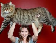 Большой кот породы мейн-кун