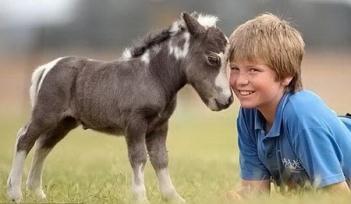 Карликовые лошадки (шетлендские пони)