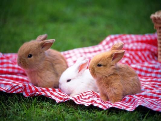 Мини-кролик домашний питомец