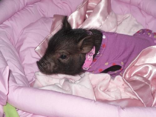 Миниатюрные свинки (мини-пигги)