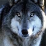 Рисунок профиля (Волчонок)