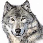 Рисунок профиля (Волчье сердце)