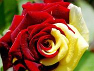 Обои для рабочего стола «Цветы» от Pink Floyd