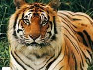 Фотошопики тигры от Anastasia1999